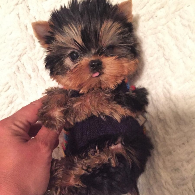 Cute Akc Yorkshire Terrier Puppy For Adoption 12 Weeks