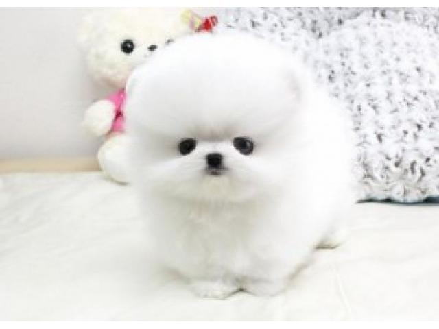 Gorgeous Elite quality bear face pom Available. 770 737-1988