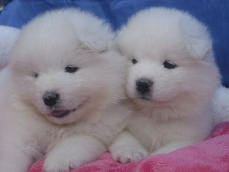 Pretty male and female samoyed puppies for good home  text 805 283-7392
