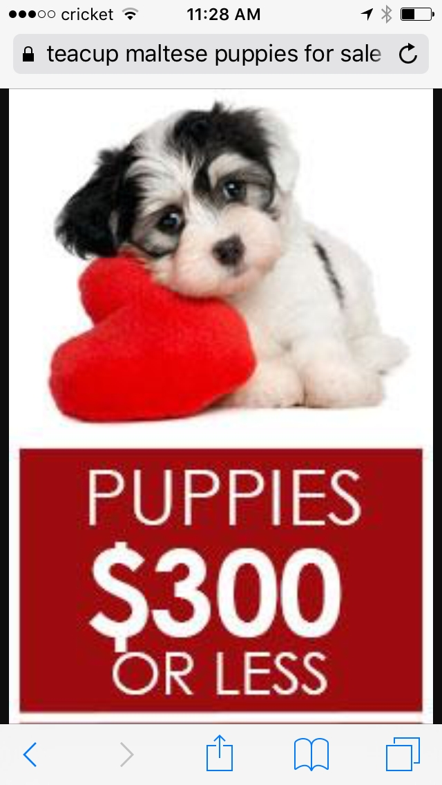 Teacup Puppies Unde 100 For Sale United States Pets 1
