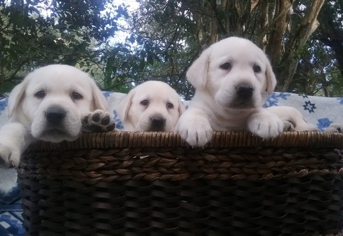 Labrador Puppies Under $100 For sale United States Pets - 1