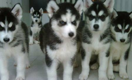 Healthy male and female husky puppies available