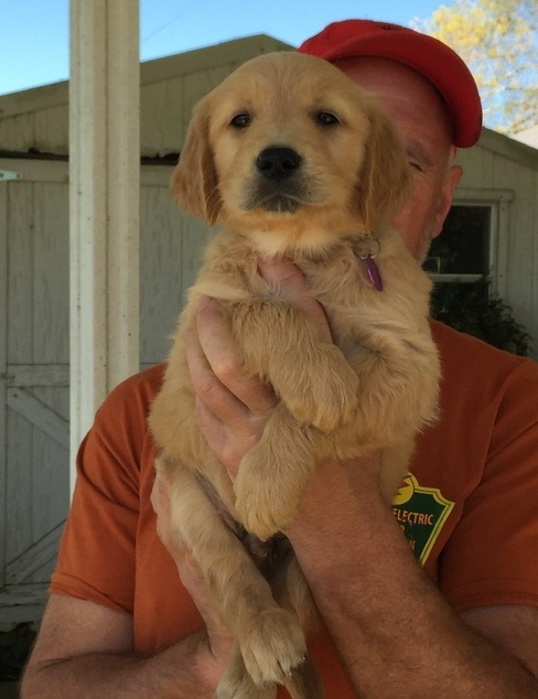 Akc Golden Retriever Puppies For Sale 602 800 6058 Los