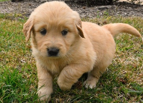 Golden retriever puppies for sale in las vegas