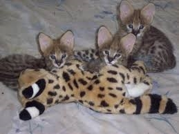 Male And Female F1 Savannah Kittens Available Text 984x664x2646