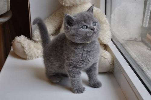 British shorthair kittens 779-232-3507