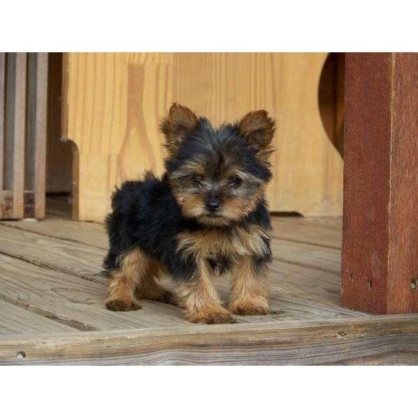 Healthy Yorkie Pups text 574 213-5874
