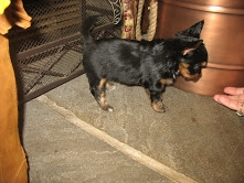 I have some 11-12 weeks old Male and Female Yorkie Puppies.