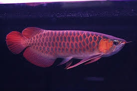 Quality Asian red arowana fishes available for sale
