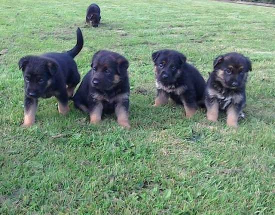 Outstanding german shepherd puppies now available. contact at 810 867-0740