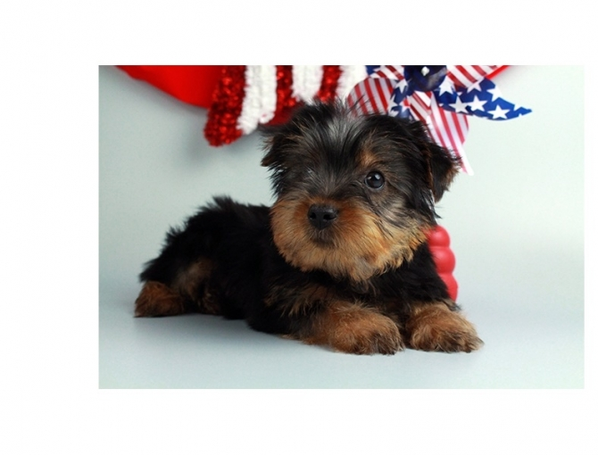 Male And Female Tea Cup Yorkie Puppies