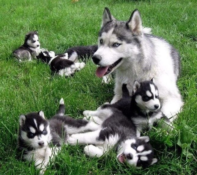amazing blue eyes pomsky puppies for sale