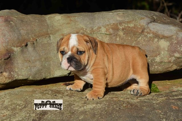 English bulldog puppy, 13 weeks old. Perfect puppy