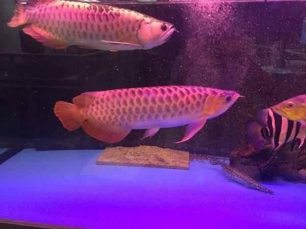 Super red arowana fish chilli red arowana los angeles for for Red arowana fish for sale in usa