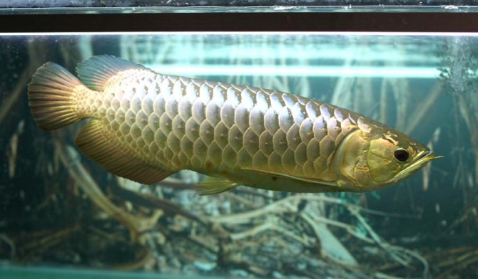 Blue base arowana fish for sale and others now call or for Arowana fish for sale online