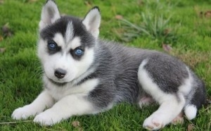 Beautiful siberian husky puppies for sale. 8weeks old