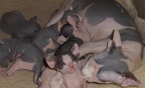 Cute and adorable MF Sphynx kittens availabe text or call via 917 631-7295
