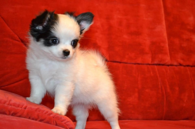 lovely and cute chihuahua puppies available now