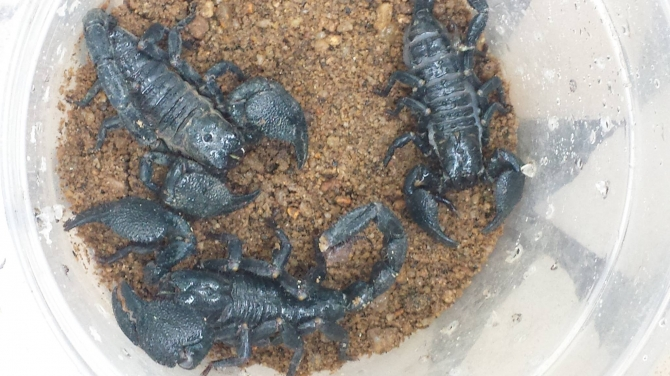 Mature Black African Scorpions for sale at affordable prices