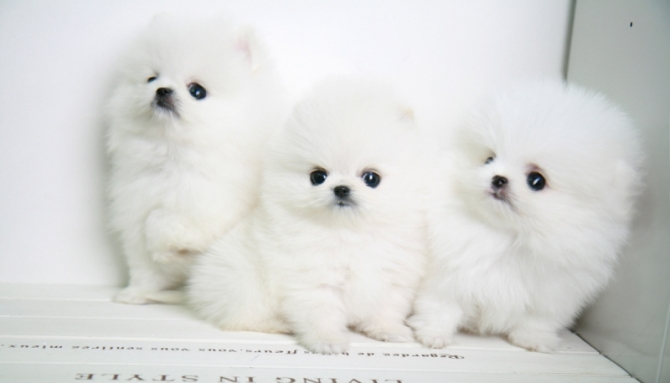 Akc Malefemale T-cup Pomeranian  Puppies Now-404600-7472