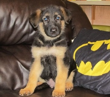Trained German Shepherd Dog Puppies For Sale