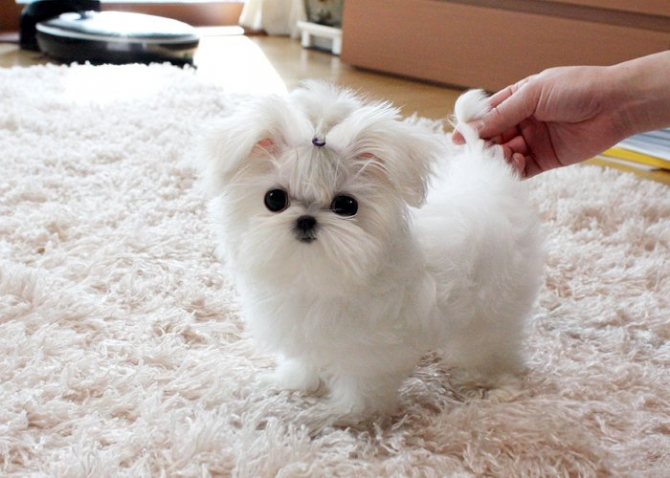 Teacup Maltese Puppies Text 2525011949 Anchorage For Sale
