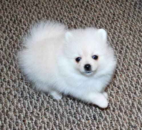 White Pomeranian Puppies Ready