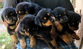 2 males and female rottweiler pupies text now pls646 531-9506