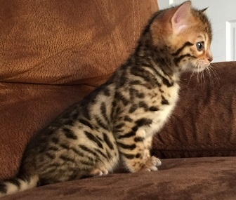 Tica Reg Pedigree Bengal Kittens Ready
