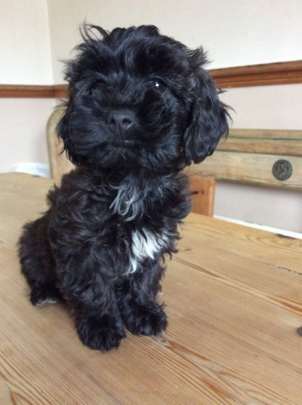 Maltipoo Pups Carrying Brown And Black 405 385-9075