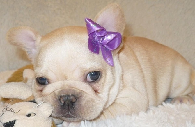 cute male and female french bulldog for a new home