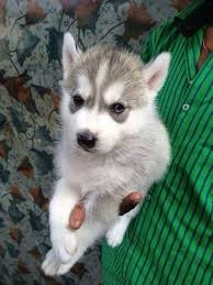 Sweet Siberian Husky Puppies