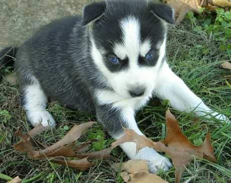 Huskies Puppies ... Male and Female  1  1 FOR X-Mas