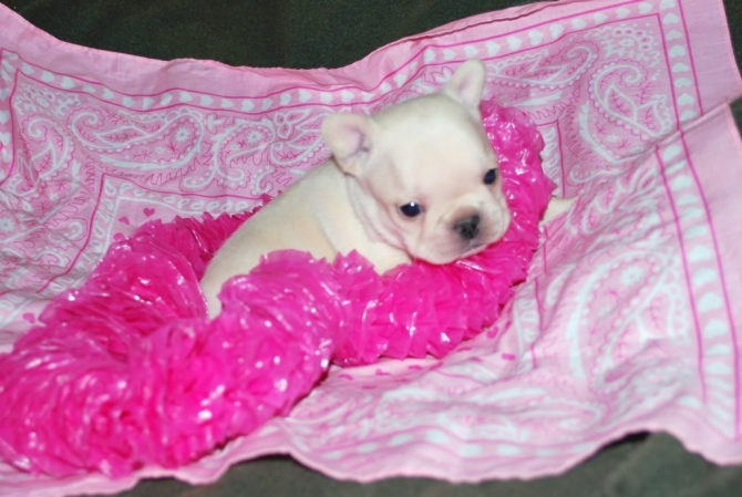 lively charmpion english Bulldog for sale