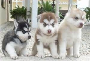 Adorable Siberian huskie puppies 607 431-8064