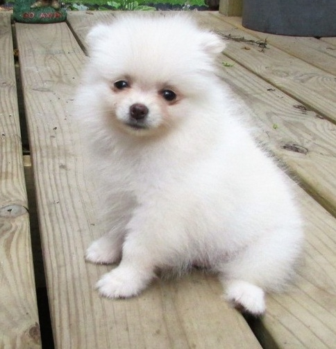 solemn pomeranian puppies text me at 4045930958