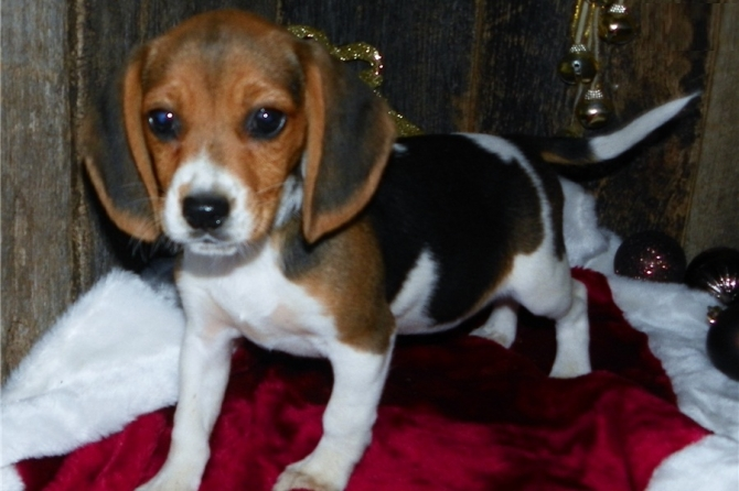 Boy And Girl Male And Beagle Puppies Available 305