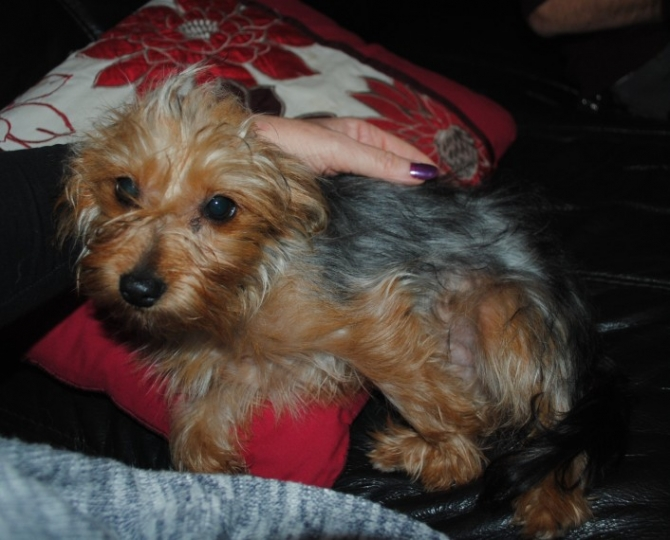 GORGEOUS YORKIE LONG BEACH For sale Los Angeles:Central Pets Dogs