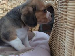 male and female Beagles babies ready