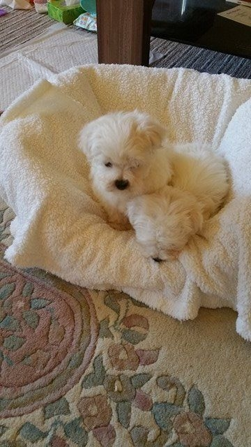 Snow White coat Xmass Maltese puppies.
