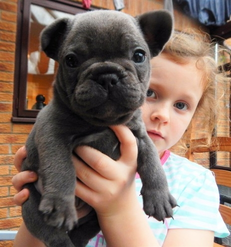 male and female French bull dogs ready