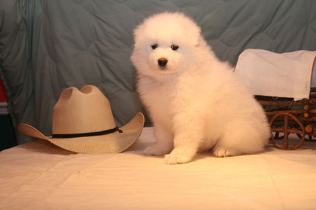 Pedigree registration AKC samoyed Puppies Now Available. 770 467 X2848