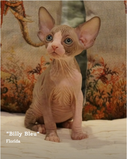 Looking to buy a Sphynx kitten