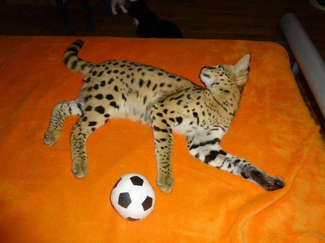 african Servals, F1 Savannah kittens for sale