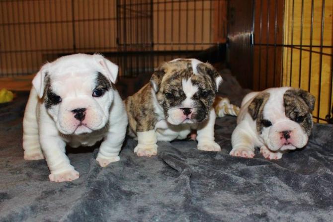 Good English Bulldog Puppies For Good Homes