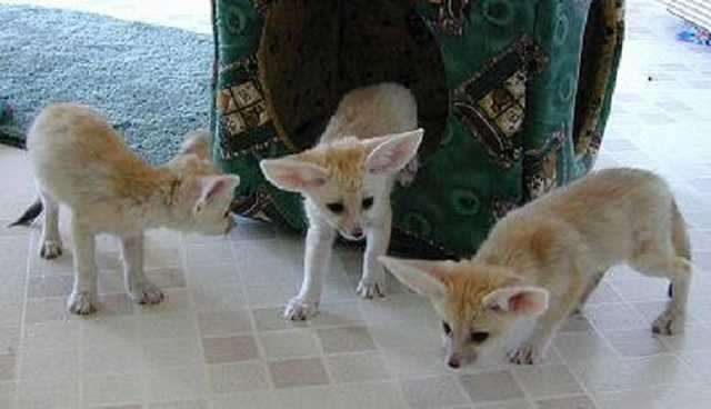 Beautiful Malefemale Fennec Fox Available Jacksonville For