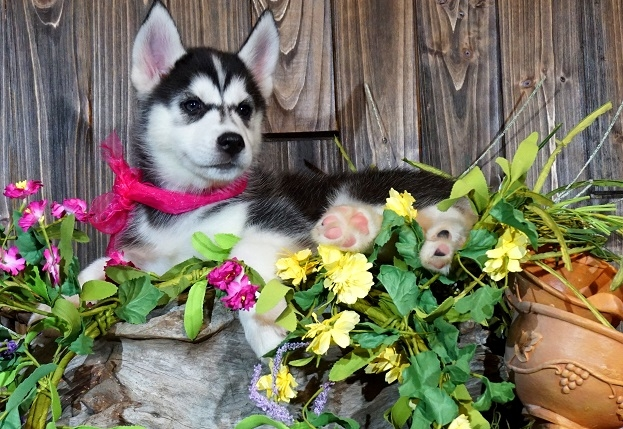 husky puppies male and female available now..