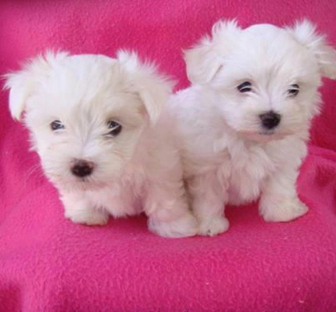 Healthy Teacup Maltese puppies available Text only at 510 371-4297