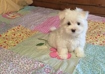 Outstanding Home raised Teacup Maltese Puppies Available