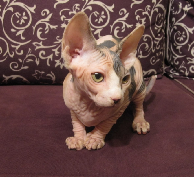 BEAUTIFUL SPHYNX KITTEN AVAILABLE TAMPA BAY For sale Tampa